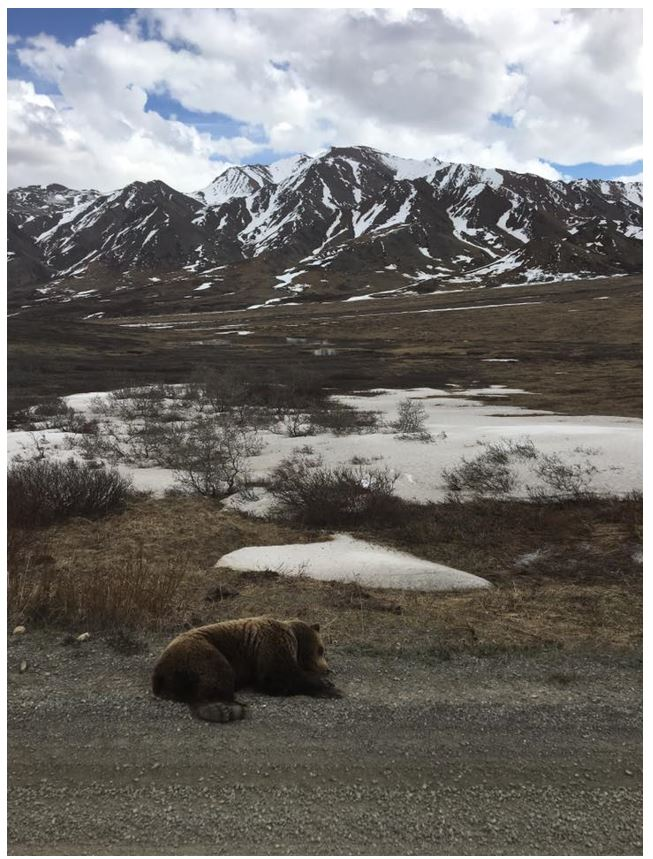 A napping grizzly bear in Denali National Park / Source: Taylor Kee