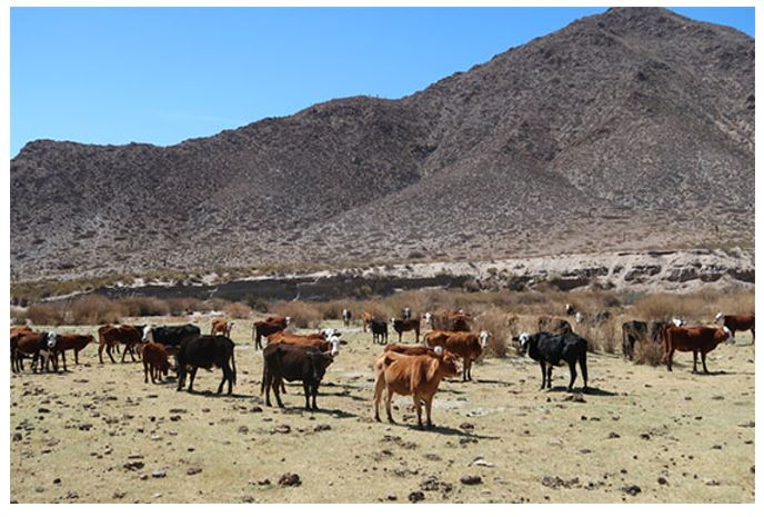 For cattle, life can be hard in high, dry Gualfin
